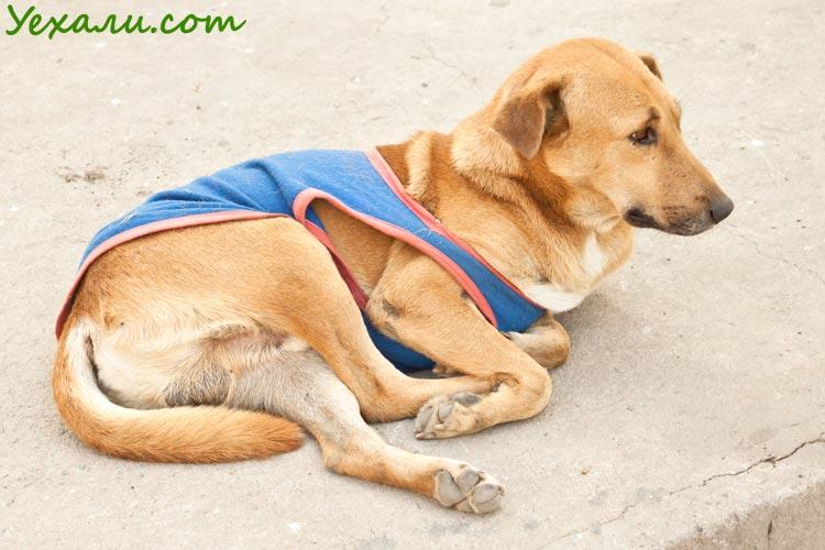 Животные Таиланда, уличные собаки