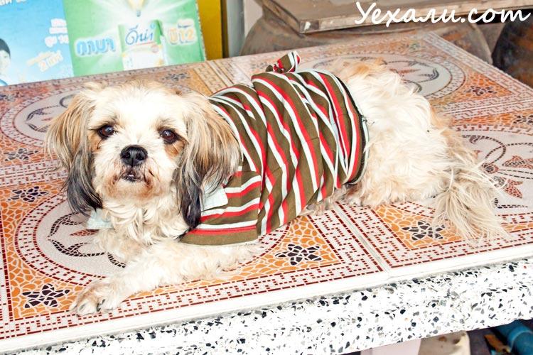 Температура в Паттайе зимой. Тайская собака в одежде