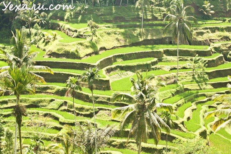 Путешествие на Бали, рисовые террасы Тегаллаланг