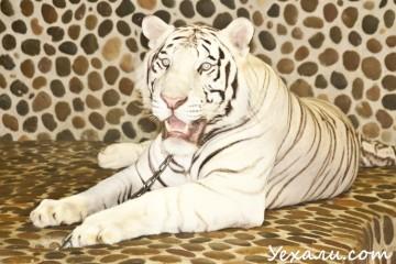 Парк миллионолетних камней в Паттайе: фото с тигром
