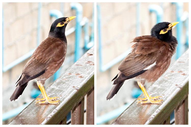 Птицы Таиланда - майна
