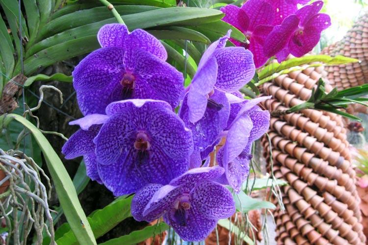 Ботанический сад Нонг Нуч в Паттайе, орхидеи