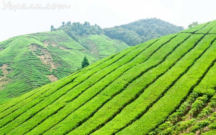 Чайные плантации Cameron Highlands, Малайзия.