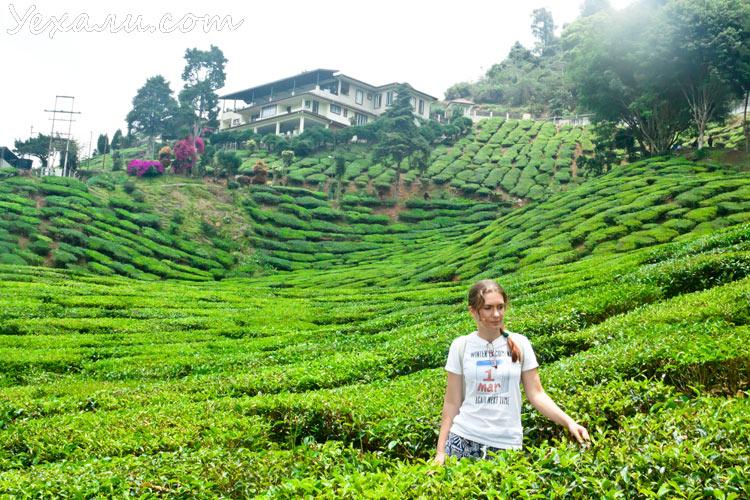 Чайные плантации Камерон Хайлендс, Малайзия.
