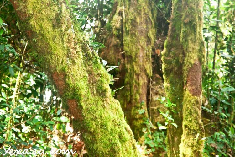 Mossy Forest, Cameron Highlands, Малайзия.