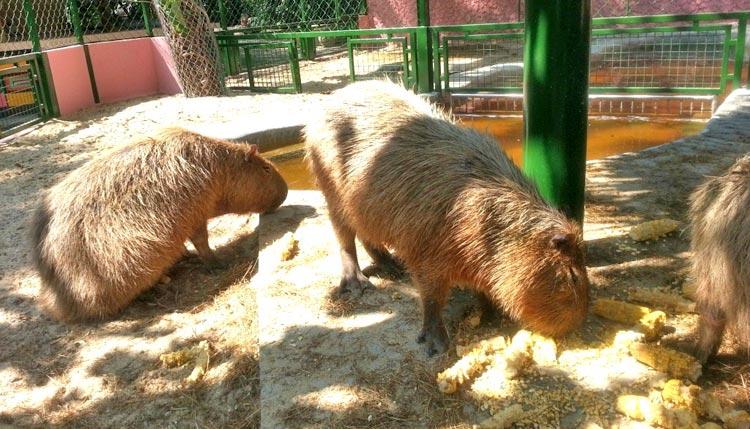 Сафари парк в Бангкоке: капибары