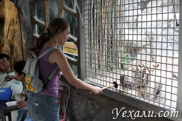 Зоопарк Као Кео, кормление тигренка.