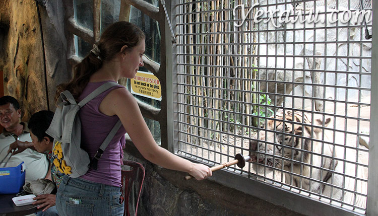 Тигры в зоопарке Као Кео, Паттайя