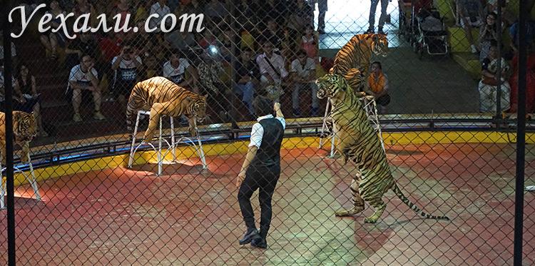 Шоу тигров в зоопарке Сирача