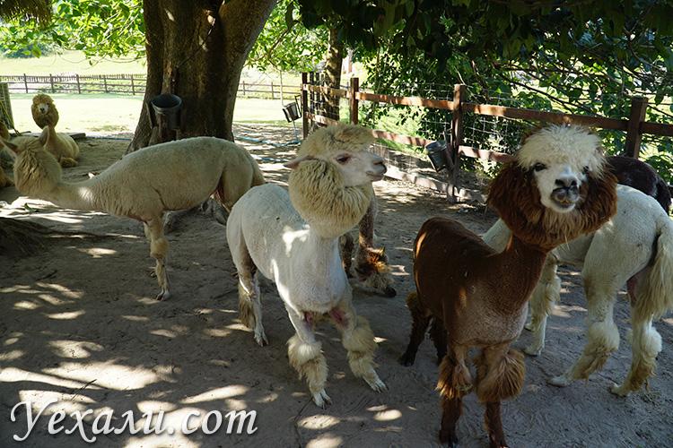 Альпаки из Латинской Америки в Таиланде