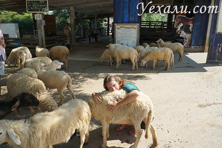 Ферма овечек в Таиланде
