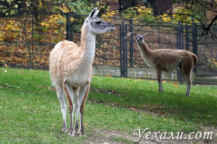Пражский зоопарк, Чехия. На фото: ламы.