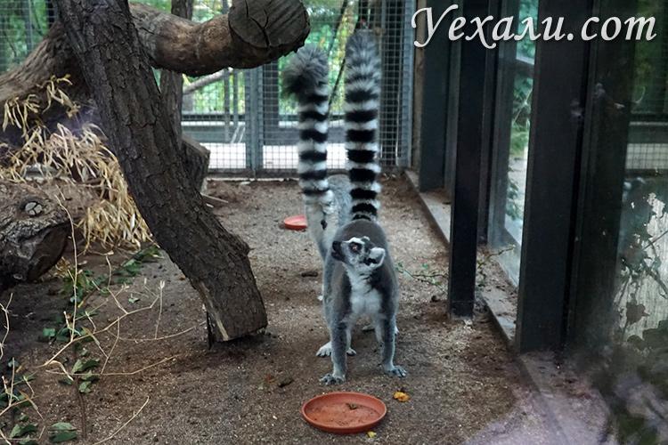 Пражский зоопарк, Чехия. На фото: лемуры.