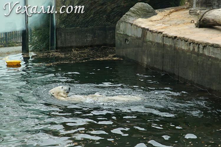 Пражский зоопарк, Чехия. На фото: белый медведь.