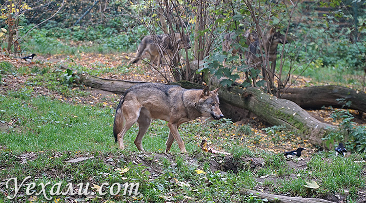 Пражский зоопарк. на фото: кормление волков.