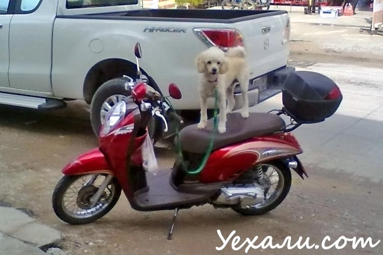 Dog on a motorcycle in Pattaya