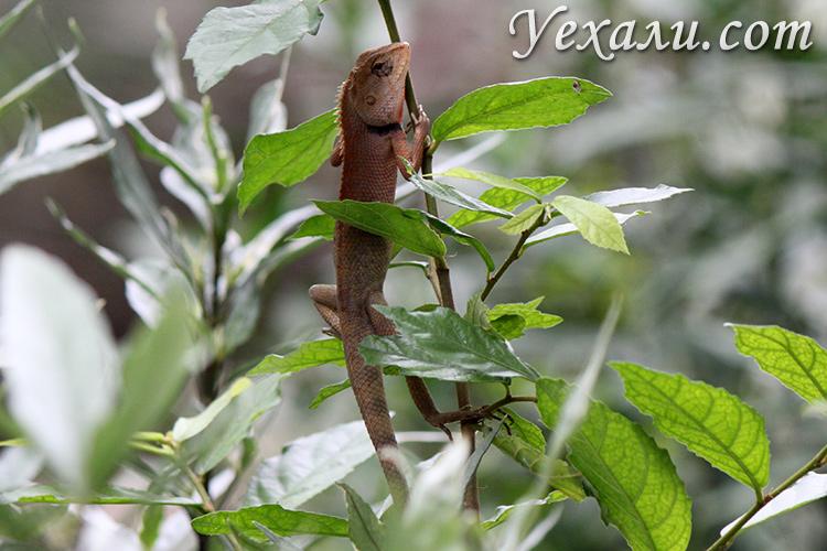 Фотография ящерицы в Таиланде