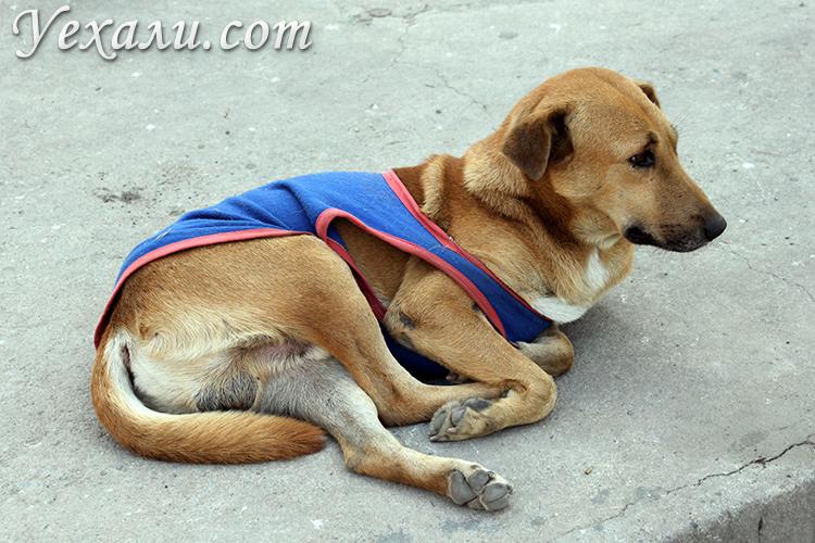 Собака мерзнет в Паттайе, ноябрь
