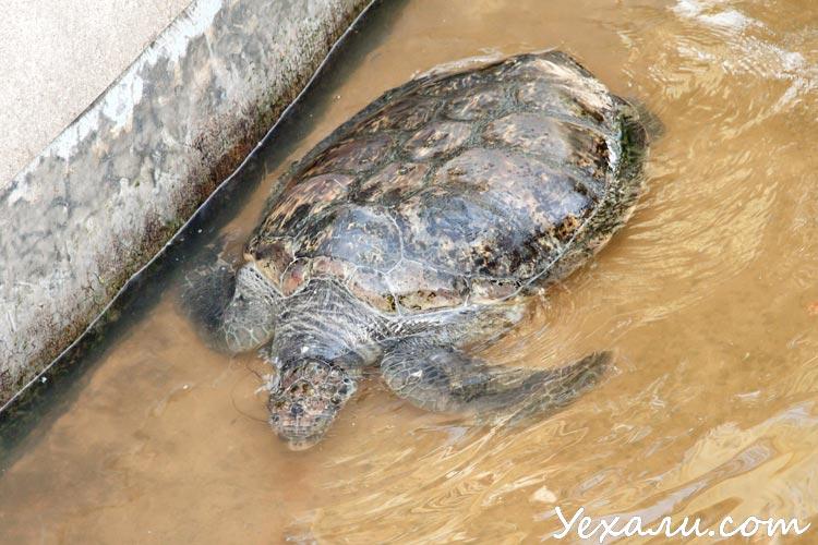 Морская черепаха (Ко Лой, Тайланд)