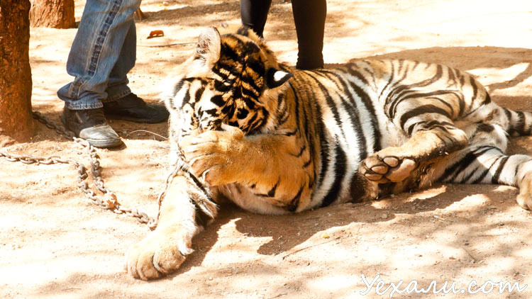 Тигриный храм в Тайланде