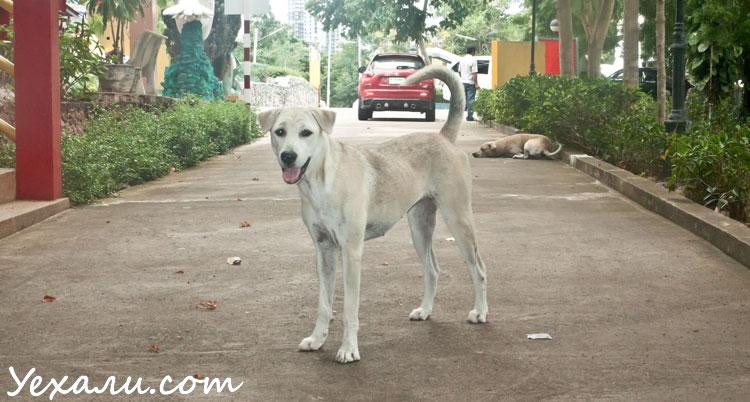 Уличные собаки в Тайланде