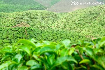 Достопримечательности Cameron Highlands: чайные плантации
