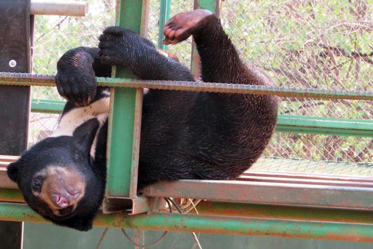Тигриный монастырь в Канчанабури: малайзийский медведь