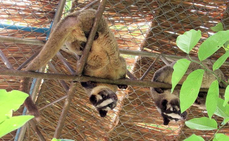 Тигриный монастырь в Тайланде: гималайские циветы