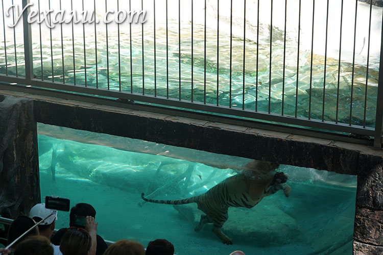 Тигр плавает на шоу