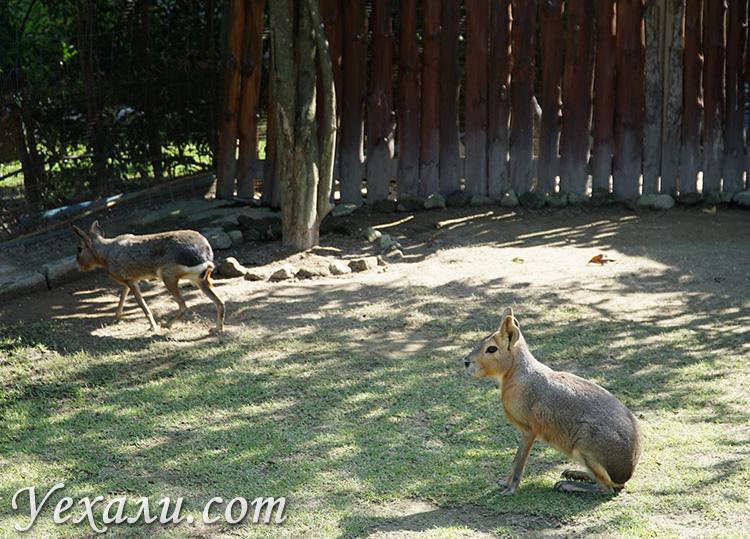 Патагонские зайцы в Таиланде