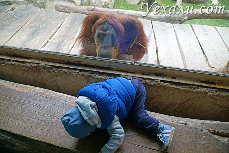 Зоопарк в Праге, Чехия. На фото: шимпанзе.