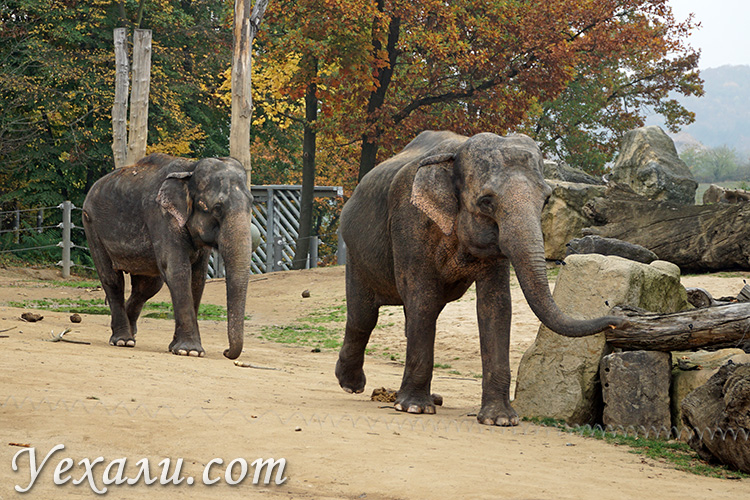 Зоопарк в Праге, Чехия. На фото: азиатский слон.