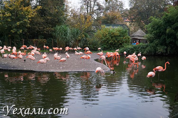 Пражский зоопарк. На фото: розовые фламинго.