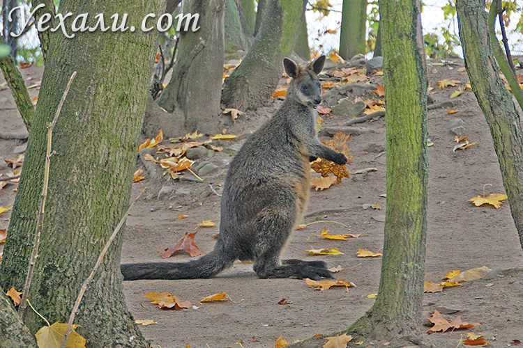 Зоопарк в Праге, Чехия. На фото: кенгуру.