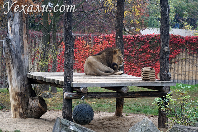 Зоопарк в Праге, Чехия. На фото: лев.