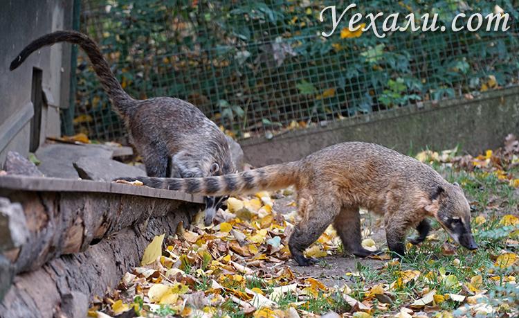 Пражский зоопарк, Чехия. На фото: носуха.