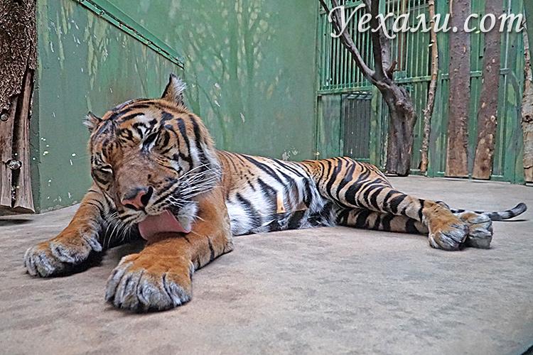Пражский зоопарк, Чехия. На фото: тигр.