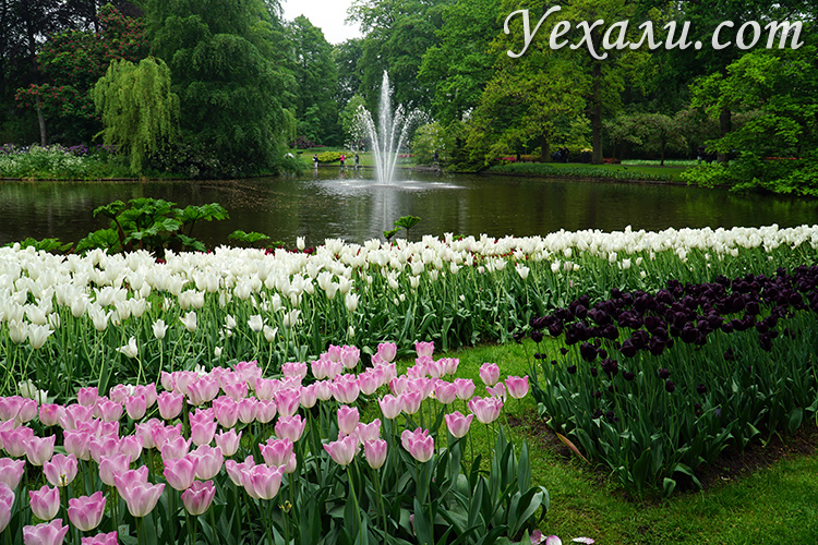 Фотографии парка тюльпанов Кекенхоф в Нидерландах