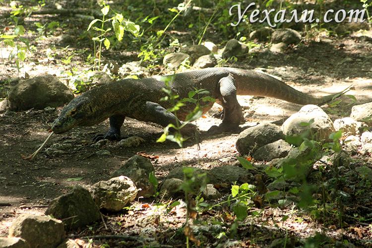 Комодский варан в дикой природе фото