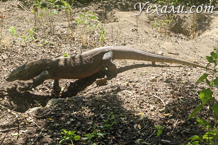Комодский дракон в дикой природе в Индонезии, фото туристов