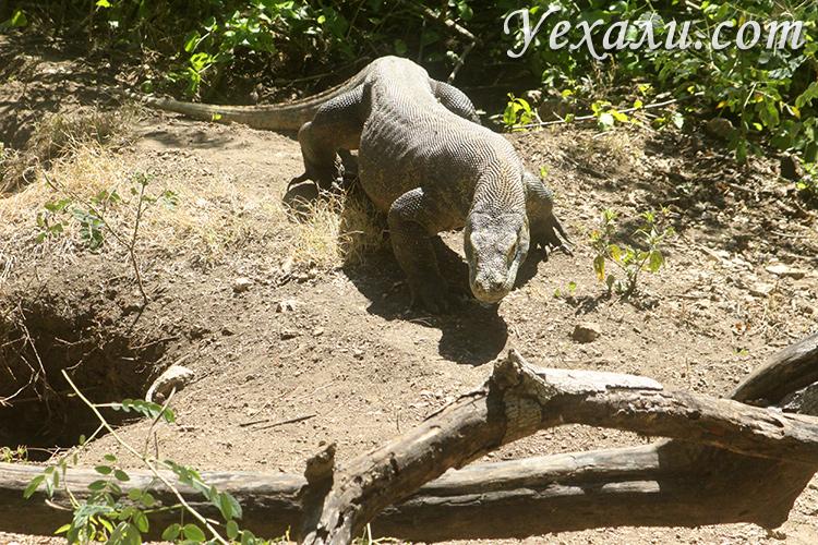 Комодские драконы на островах Индонезии