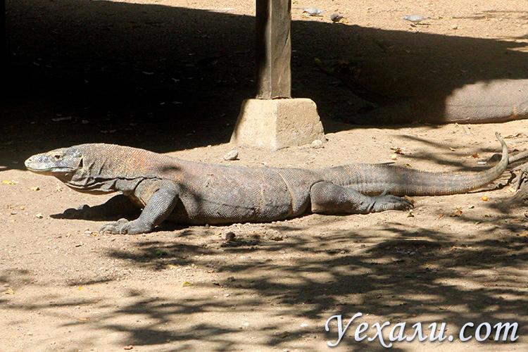 Фотографии комодских варанов в дикой природе