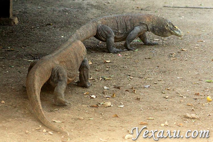 Фотографии комодских драконов в Индонезии