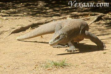 Индонезийские драконы комодо