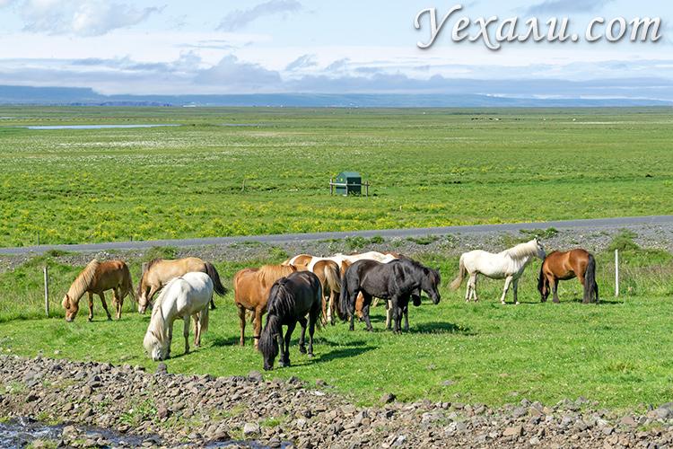 На фото: исландские лошади