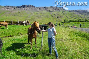 Интересные факты об исландских лошадях
