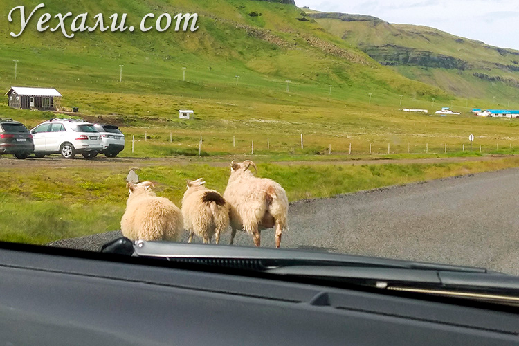 Овцы в Исландии.