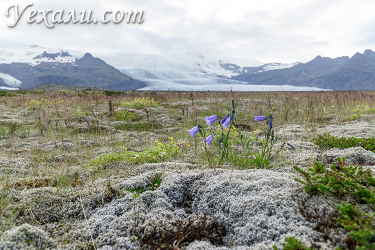 Ледник Ватнайекюдль, Исландия, на фоне цветов..