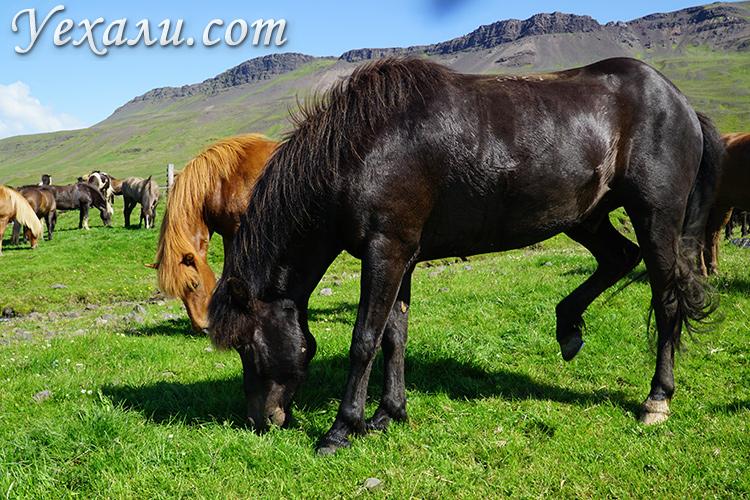 Крупное фото лошади в Исландии