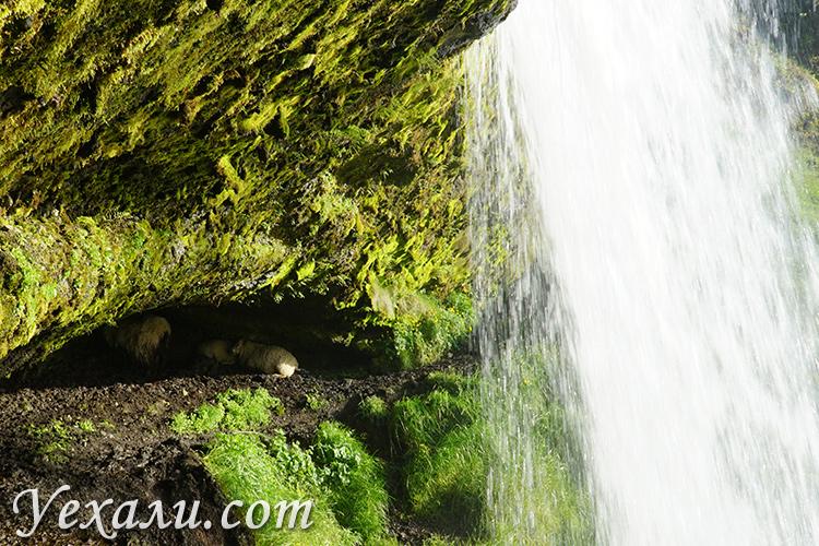 Овцы в Исландии прячутся за водопадом.